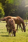 picture of horses eating  - Two Brown Horses Eating Grass in Field at Sunset