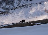 pic of greater  - Cow walking under the Mount Kazbek Greater Caucasus Range in Georgia - JPG