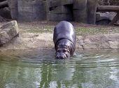 picture of hippopotamus  - A hippopotamus  - JPG