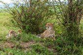 foto of cheetah  - Cheetah with cub in Masai Mara - JPG