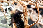 image of titi monkey  - Monkey white - JPG