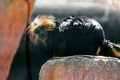 pic of titi monkey  - Black monkey titi leon or golden - JPG