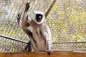 stock photo of marmosets  - Gray langurs or Hanuman langurs monkey in zoo cell - JPG