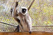 image of hanuman  - Gray langurs or Hanuman langurs monkey in zoo cell - JPG