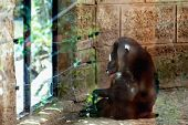 image of marmosets  - Monkey dril sitting in the zoo cell - JPG