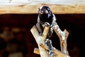 picture of marmosets  - Monkey sitting on the tree in zoo - JPG