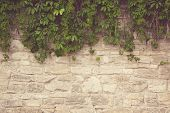 stock photo of ivy vine  - close up photo of the stone wall with ivy - JPG