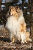 stock photo of collie  - Beautiful scotch collie sitting in the forest - JPG