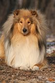 image of collie  - Amazing scotch collie lying in winter forest - JPG