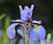 image of buff  - Siberian Iris