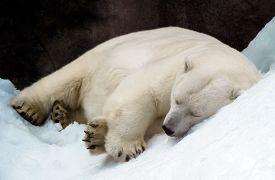 stock photo of zoo  - Sleeping polar bear  in the Moscow zoo - JPG