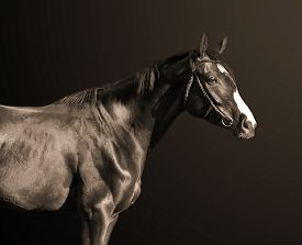 picture of year horse  - Budyonny horse 3 years old black and white photo sepia toned - JPG