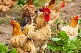 picture of roosters  - rooster and hen in the village - JPG