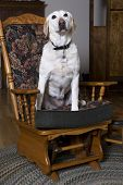 Labrador Retriever On A Chair