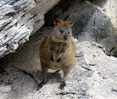 stock photo of quokka  - A young quokka  - JPG