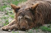 picture of budge  - dog is resting on the sunny day - JPG