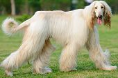 Afghan Hound Dog Walking