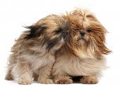 Two Shih-tzus with windblown hair in front of white background
