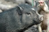 picture of pot bellied pig  - A potbellied pig seemingly poses for a picture as another seranades him in the background.