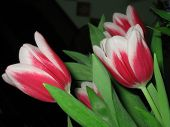 Red Tulips Against Black