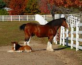 image of clydesdale  - Clydesdale and her pony relaxing on a warm fall afternoon - JPG