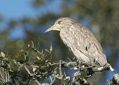 Juvenile Black-crowned Night Heron, Nycticorax Nycticorax
