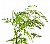 stock photo of ragweed  - Ragweed plant in allergy season isolated on white background common allergen - JPG