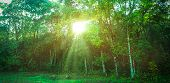 Landscape Of Fresh Green Foliage With The Sun Casting Its Rays Of Light Through Trees. Beautiful Nat poster