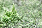 Evergreen Juniper Background. Photo Of Bush With Green Needles. Ornamental Thorns Of Juniperus Commu poster