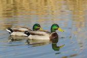 Two Drake - Male Mallard Duck (lat. Anas Platyrhynchos) In The Pond poster