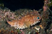 Glaring Porcupinefish