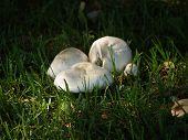 Twighlight Mushrooms (Agaricus Amicosus)