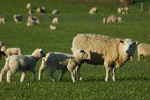Mob der Schafe