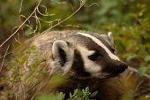 Badger Looking Away