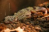 Leopard Gecko Sleeping