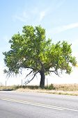 Old Cottonwood Tree By A Rural Road