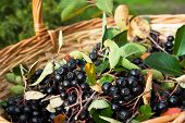foto of aronia  - Ripe Chokeberries (Aronia) berries with leaves in basket