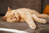 Red British Cat Lying On The Sofa. A Pet With A Blissful Face. Particular Breed. poster