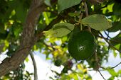 stock photo of avocado tree  - Looking up a large avocado fruit hanging in tree - JPG