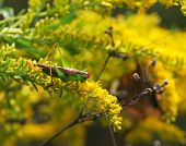 Fall Katydid on Goldenrod