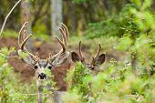 Two mule deer bucks with velvet antlers