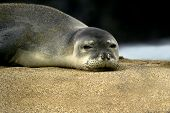 Eyed By A Monk Seal