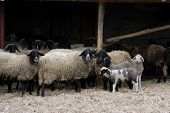 stock photo of counting sheep  - Lambs at the farm two baby lambs plus - JPG