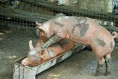 Pigs' Massage