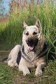 pic of alsatian  - Alsatian dog at field - JPG