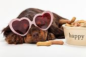 Cute Cocker Spaniel puppy dog wearing pink heart shaped sunglasses sleeping by Happy dog bowl of bon poster