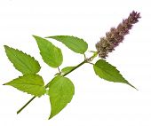 fresh peppermint herb and flowers