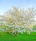 white blossom of apple trees in springtime
