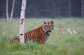 The Siberian Tiger (panthera Tigris Tigris), Or  Amur Tiger (panthera Tigris Altaica) In The Grassla poster