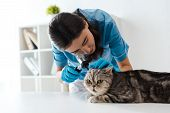 Concentrated Veterinarian Examining Ears Of Tabby Scottish Straight Cat With Otoscope poster